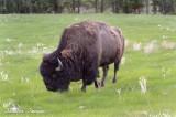 Stately Buffalo