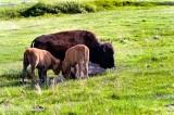 Buffalo Interaction