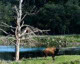 Male Buffalo stands guard