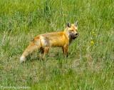 Fox and Kill