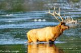 Bull elk fording