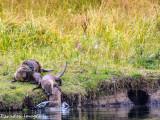 Snake River Otters I