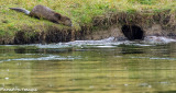 Snake River Otter Play II