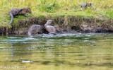Snake River Otter Play III