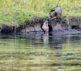 Otter Play IV