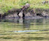 Otter Play V