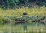 Snake River Bald Eagle