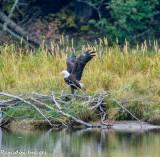 Snake River Bald Eagle Take Off