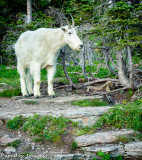 Mountain Goat Amblin'