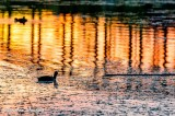 Ducks swim in Yuma