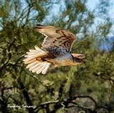 Ferriginous Hawk in flight