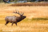 Bull Elk starting his call
