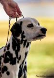 Dalmatian Headshot #2