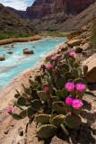 Little Colorado Blooms- River Mile 61.7
