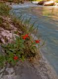 Havasu Monkey Flowers  - River Mile 157.3
