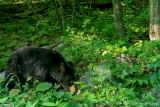 Shenandoah Black Bear