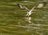 Osprey Intent