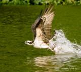 Osprey Strike