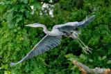 Blue Heron Take Off