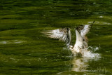 Osprey Swimmer