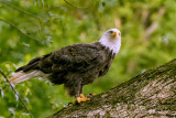 Eagle Perch II
