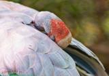 Brolga Crane Close Up