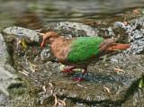 Emerald Wing Dove I