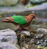 Emerald Wing Dove II