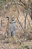 Third Leopard Close Up