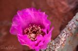 Cactus Bloom - River Mile 20.7
