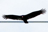 2014 - Turkey Vulture (Buzzard) soaring over Miami Lakes bird stock photo #3660
