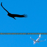 2014 - Turkey Vulture (Buzzard) and American Airlines B757 soaring over Miami Lakes stock photo #3661