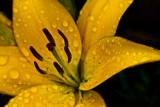 1162. Wet yellow flower