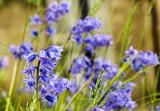1225. Blue flowers shaped like bells