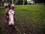 1231. Donkey in a field