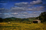 1409. Field of buttercups