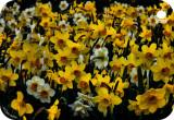 1437. Daffodils