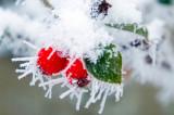 573. Frozen berries