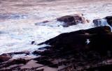 657. Gull over Auchmithie rocks