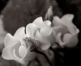 658. Roses