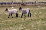 800. Two wee lambs