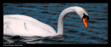 939. Swan
