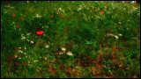 1035. Festive poppies and daisies