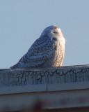 Snowy Owl 12-18-13