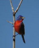 Painted Bunting and Yellow Billed Cuckoo  7-4-14