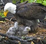 American Eagle Foundation Webcams 2016 - Screenshots (DC eagle cam)
