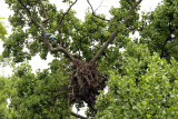 Another shot of nest tree from road (around 200mm, but CAN see with eyes only from ground)