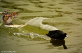 Vern's very fast Coot!