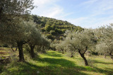 Olive grove in Wadi Maghrour, West Bank