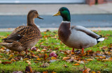 Ducks Queens Gardens Hul IMG_7963.jpg